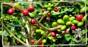 coffe beans De Roccis