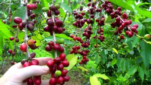 caffe coffea arabica pianta coltivazione caffè de roccis